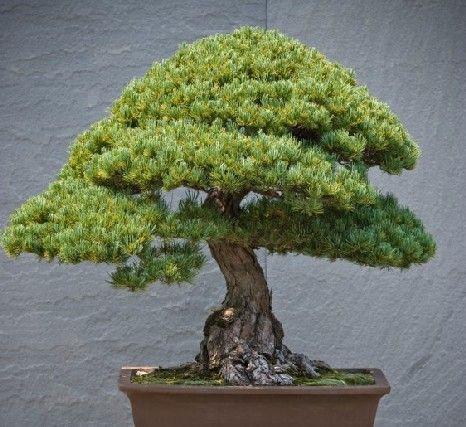 Como tratar do seu bonsai