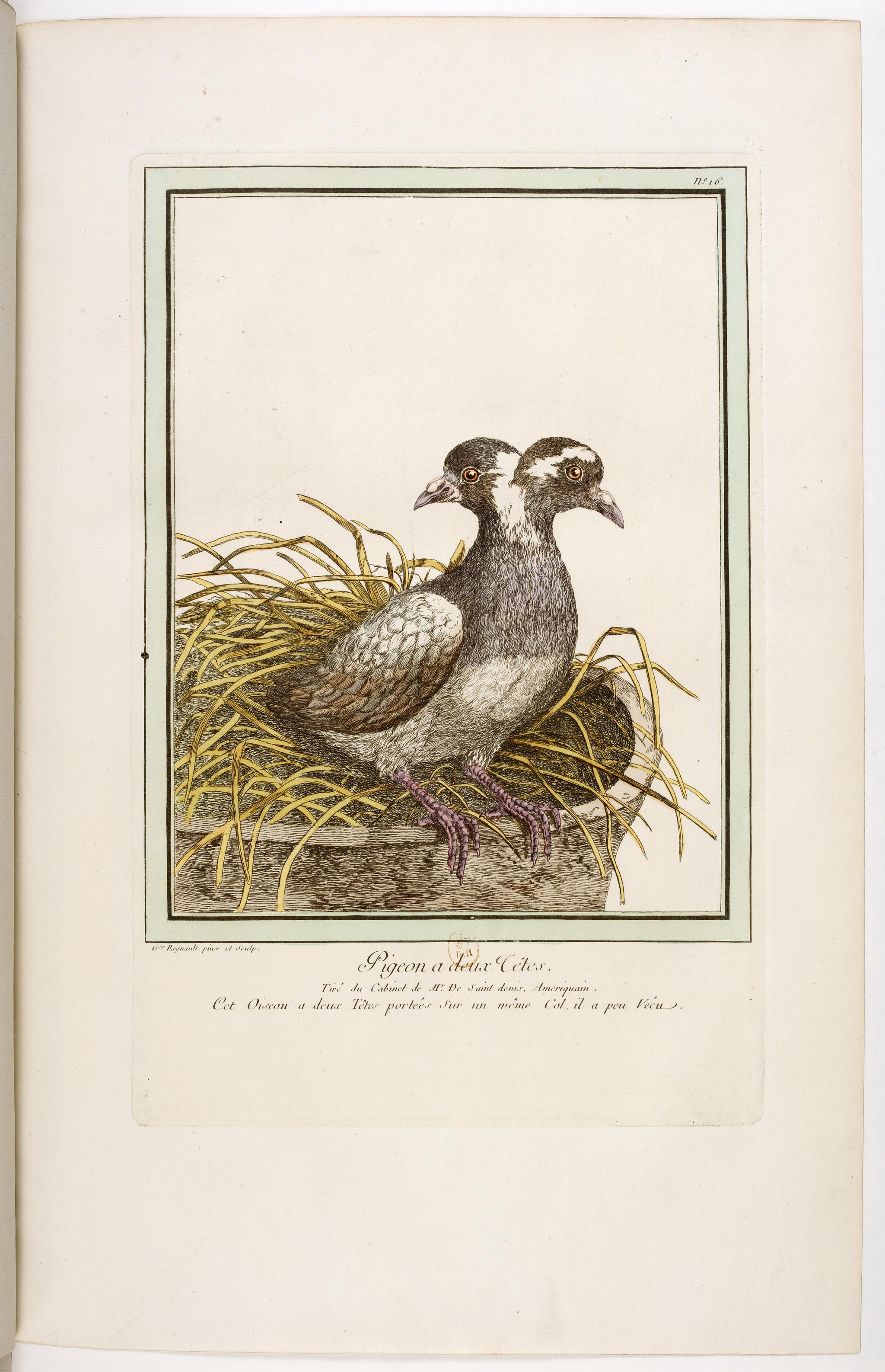 Secção 4 Pigeon a deux tetes.jpg