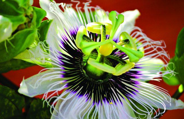 """""""Flor de Maracujá"""""""