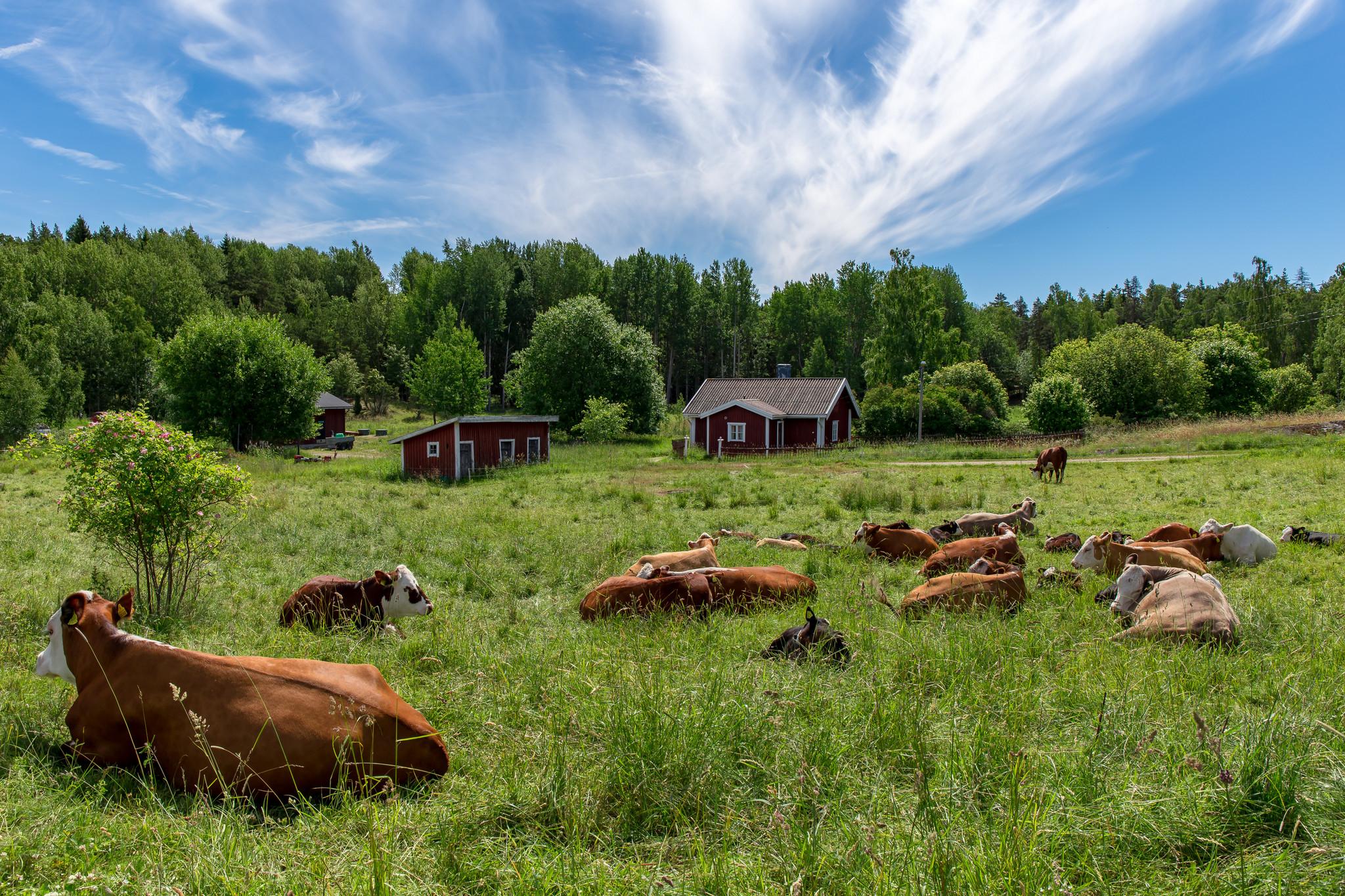 vacas finlandia