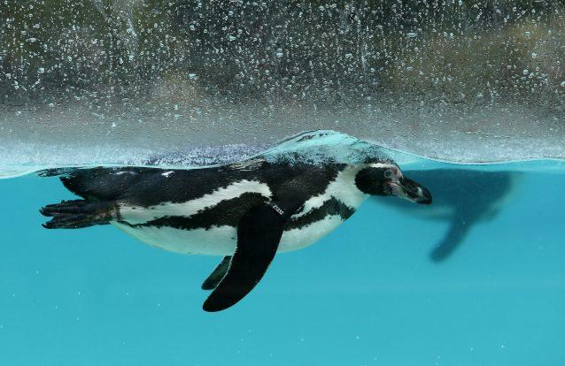 Fotos de pinguins que não podes perder 16