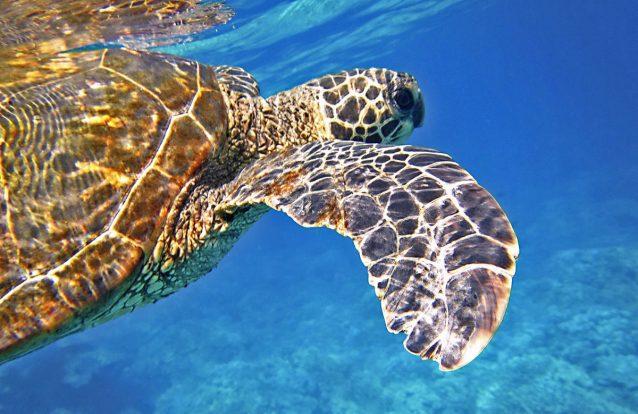 99% das tartarugas-verdes do Pacífico estão a nascer fêmeas. E a culpa é do aquecimento global