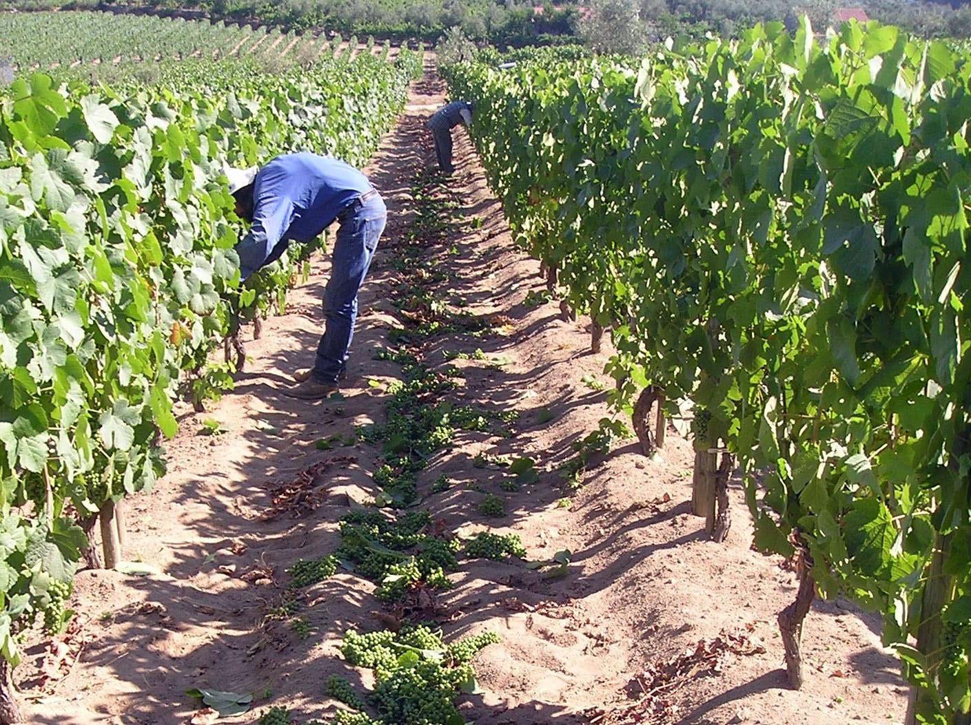 A sustentabilidade na produção de vinhos