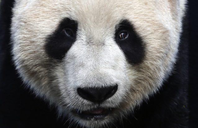 Este panda está a divertir-se mais na neve do que o resto dos EUA