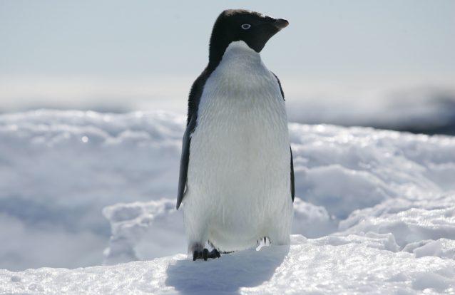 Icebergue provoca morte de 150 mil pinguins na Antártida