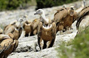 Medicamento pode pôr em causa a sobrevivência dos abutres