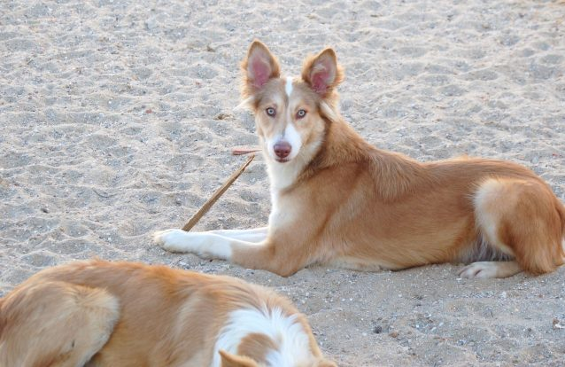O Cão do Barrocal Algarvio vai ser a 11ª raça certificada em Portugal