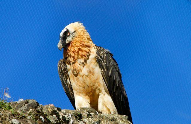 O regresso do abutre que se alimenta de medula óssea