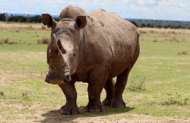 O último rinoceronte-branco-do-norte macho morreu. Mas ainda há esperança para a subespécie