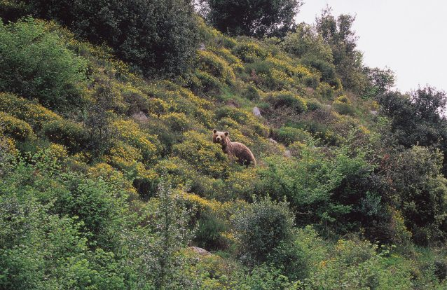 Será que o urso vai regressar a Portugal?