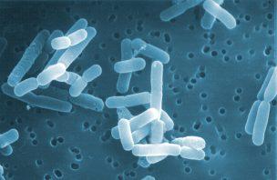 Tratamento à base de bactérias reverteu défices sociais do autismo em ratos