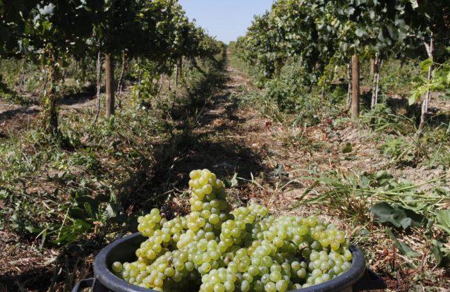 Vindimas 2018: A apanha da uva começa na Quinta do Casal Branco, em Almeirim