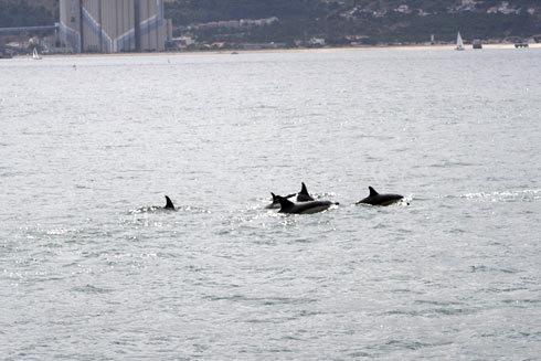 Golfinhos no Tejo!