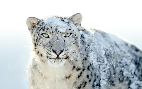 users_0_14_snow-leopard-a274.jpg