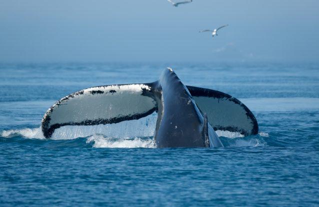 Fóssil de baleia mais completo de sempre revelou um importante passo na sua evolução